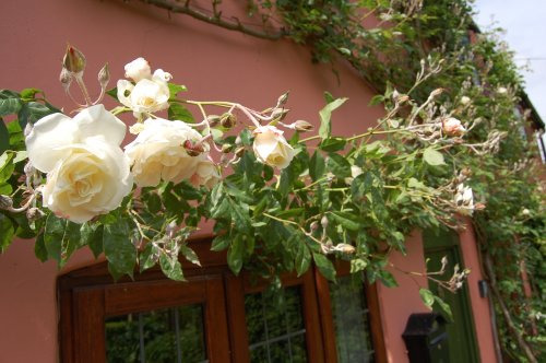 The rose from which Rose Cottage takes its name
